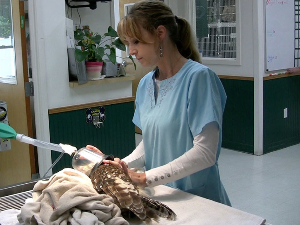 Owl Anesthesia What Do Veterinarians Do Gallery Web