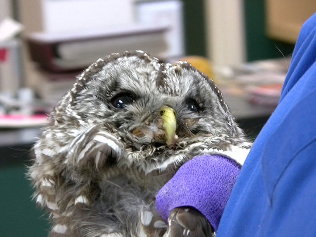 Owl What Do Veterinarians Do Gallery Web