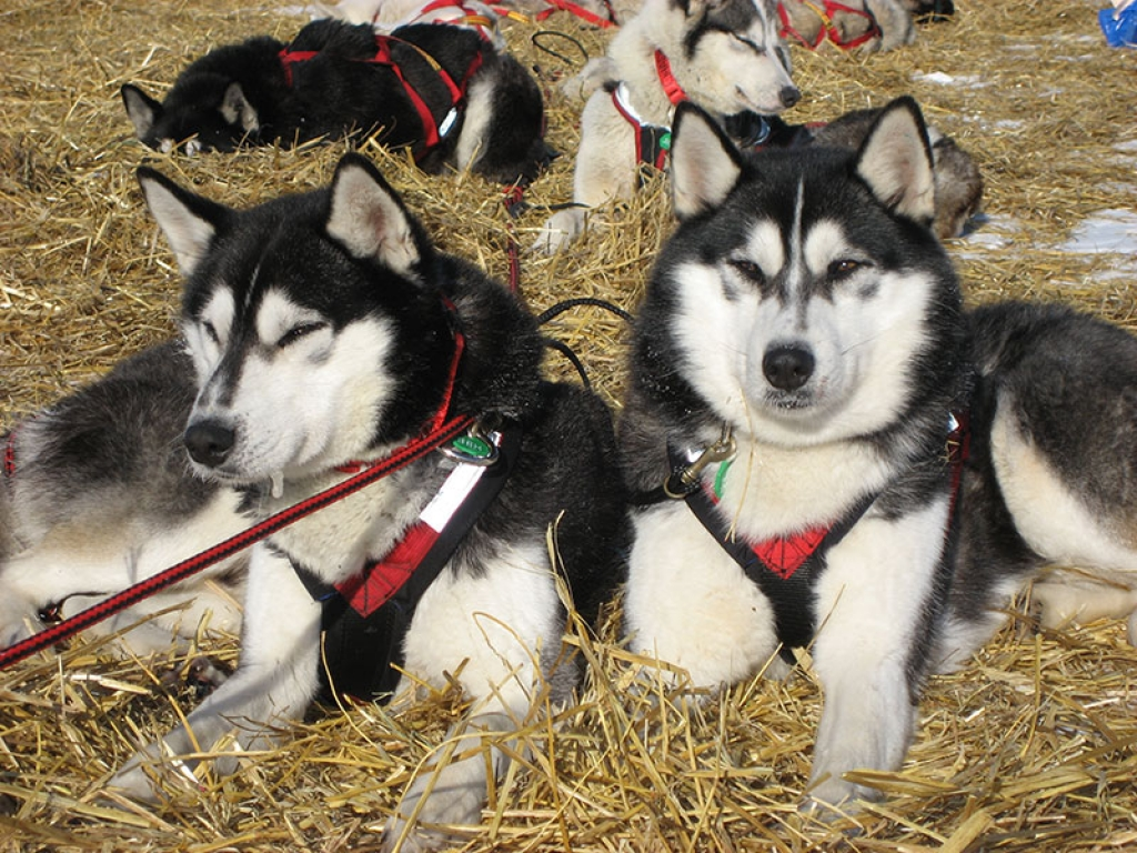 Sled-Dogs-Alaska-gallery-web