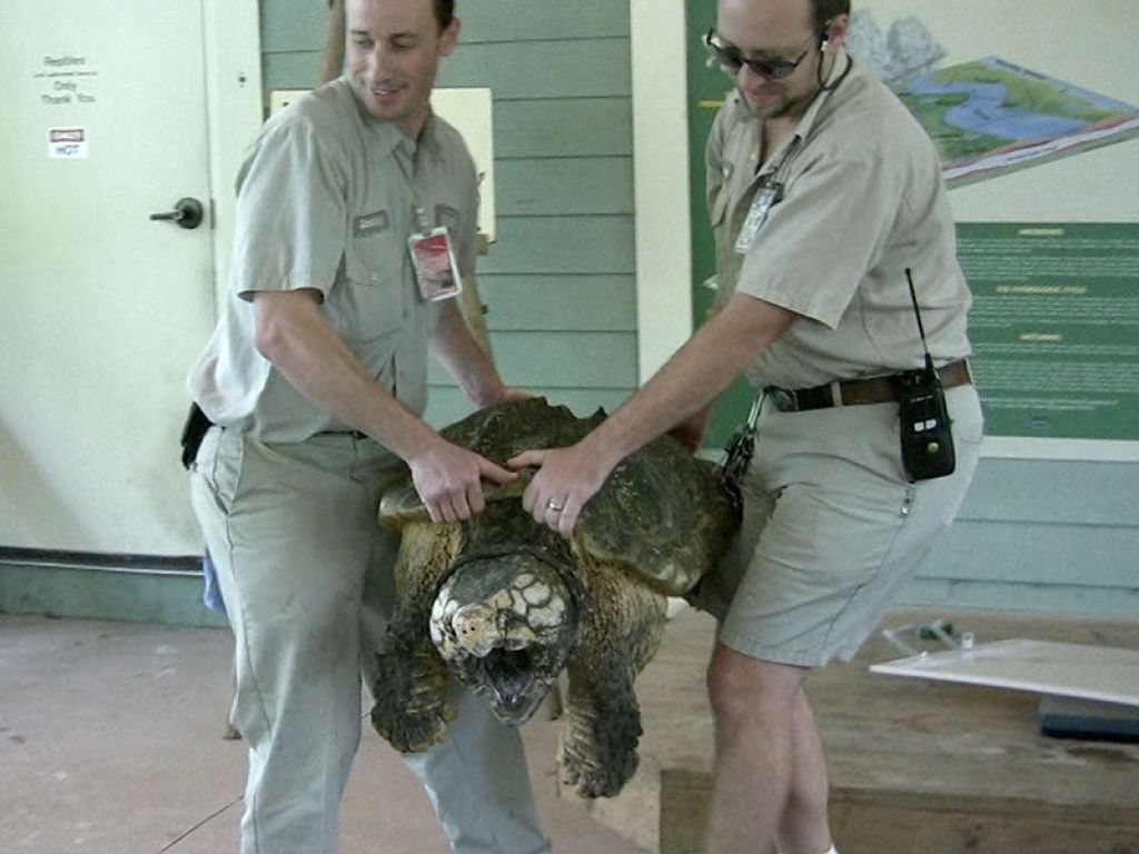 zoo-veterinarian-snapping-turtle-gallery-web